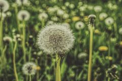 Shallow Focus Photography of Dandelions Stock Photography