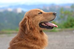 Shallow Focus Photography of a Golden Retriever Royalty Free Stock Image