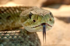 Shallow Focus Photography of Gray Snake With Black Tongue Royalty Free Stock Photos