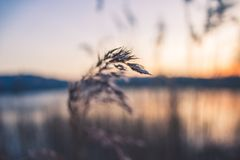 Shallow Focus Photography of Grey Wheat Royalty Free Stock Photography