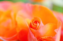 Shallow Focus Photography of Orange Petal Flower Royalty Free Stock Photography