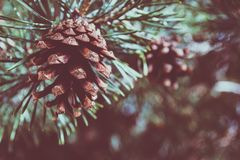 Shallow Focus Photography of Pine Cone Stock Photos