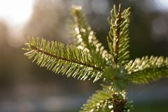 Shallow Focus Photography of Pine Tree Leaves royalty free stock photos