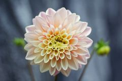 Shallow Focus Photography of Pink Flower royalty free stock image