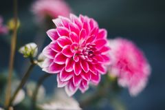 Shallow Focus Photography of Pink Flowers Stock Photo