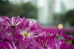 Shallow Focus Photography of Purple Flowers Royalty Free Stock Images