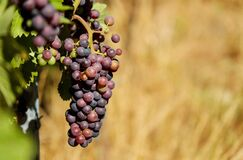 Shallow Focus Photography of Purple Grapes Royalty Free Stock Photos