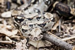 Shallow Focus Photography of Python Royalty Free Stock Image