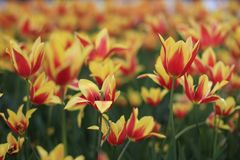 Shallow Focus Photography of Red and Yellow Flower Field stock photo