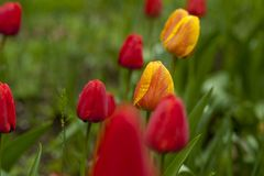 Shallow Focus Photography of Red and Yellow Flowers Royalty Free Stock Photography