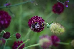 Shallow Focus Photography of Three Bees on Purple Flower Royalty Free Stock Photography