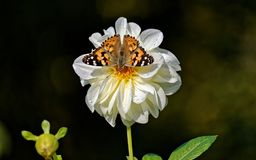 Shallow Focus Photography of Vanessa Atalanta Butterfly on White Flower Stock Photo