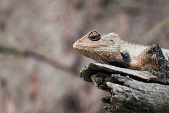 Shallow Focus Photography of White and Black Lizard on White Tree Branch Royalty Free Stock Photos