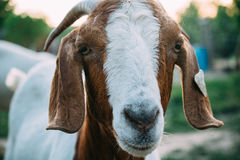 Shallow Focus Photography of White and Brown Goat Royalty Free Stock Photography