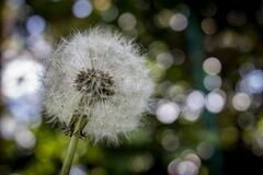 Shallow Focus Photography of White Dandelion Royalty Free Stock Photo