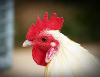 Shallow Focus Photography of White Hen Stock Photography