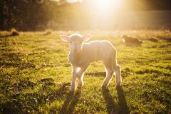 Shallow Focus Photography of White Sheep on Green Grass Royalty Free Stock Photography
