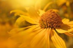 Shallow Focus Photography of Yellow Daisy Royalty Free Stock Photos