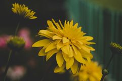 Shallow Focus Photography of Yellow Flowers Stock Images