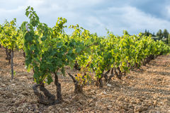 Shallow focus picture of a vineyard row full of green grapes Royalty Free Stock Images