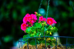 Shallow Focus of Pink Bloom Flowers stock photography