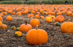 Picking pumpkins. Shallow focus on pumpkin patch as families pick pumpkins for Halloween Royalty Free Stock Images