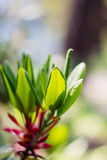 Shallow focus of Rhododendron leaves. Spring nature background with fresh rhododendron leaves. Shallow focus royalty free stock photo