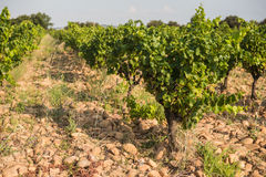 Shallow focus sunny picture of a vineyard row with grapes Royalty Free Stock Photos
