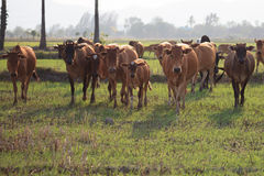 Shallow of Focus to Cows. Stock Photo
