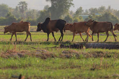 Shallow of Focus to Cows. Stock Photography