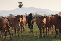 Shallow of Focus to Cows on a field stock image