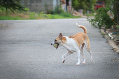 Shallow of Focus to a dog holding ball. Royalty Free Stock Photo