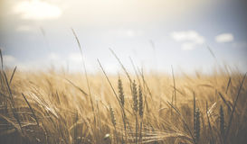 Shallow Focus of Wheat Field Under Clear Sunny Sky during Daytime Stock Photos