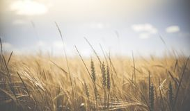 Shallow Focus of Wheat Field Under Clear Sunny Sky during Daytime Stock Image