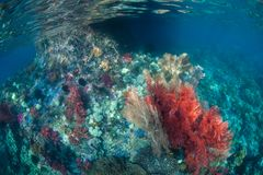 Vibrant and Healthy Coral Reef in Raja Ampat stock photography