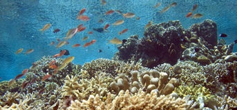 Shallow Indonesian coral reef Royalty Free Stock Photo