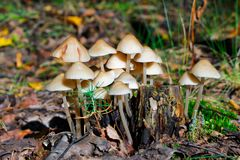 Shallow inedible mushrooms Stock Photography