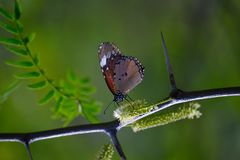 Shallow Photography of Brown and Black Butterfly Perched on Black Plantbranch Stock Images