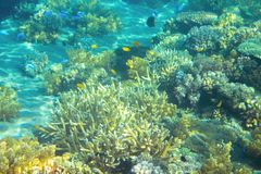 Shallow sea coral reef. Tropical seashore inhabitants underwater photo. Royalty Free Stock Image