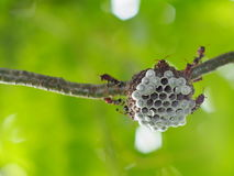 Shallow and selective focus on small flying insects look like Paper wasp. Hymenoptera, Omnivorous on nest colony under small tropical plant authentic insect stock photos