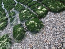 Shallow Stones are covered with bright algae. stock photo