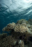 Shallow tropical coral reef Royalty Free Stock Images