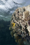 Shallow tropical coral reef Stock Images