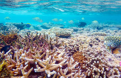 Shallow Water Coral Reef Royalty Free Stock Photo
