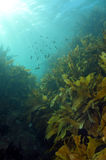 Shallow water kelp forest Royalty Free Stock Photo