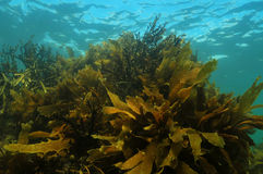 Shallow water kelp forest royalty free stock photos