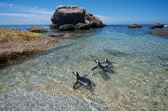Shallow water penguins Stock Photography
