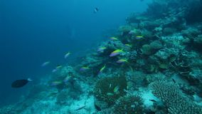 Shallow Water with Sealife of Coral Reef. Maldives stock video