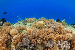 Shallow water soft corals.  Gili Air Royalty Free Stock Photography