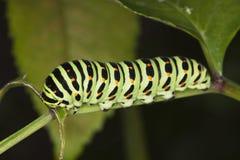 Shallowtail larvae feeding. (Papilio Machaon) Royalty Free Stock Image